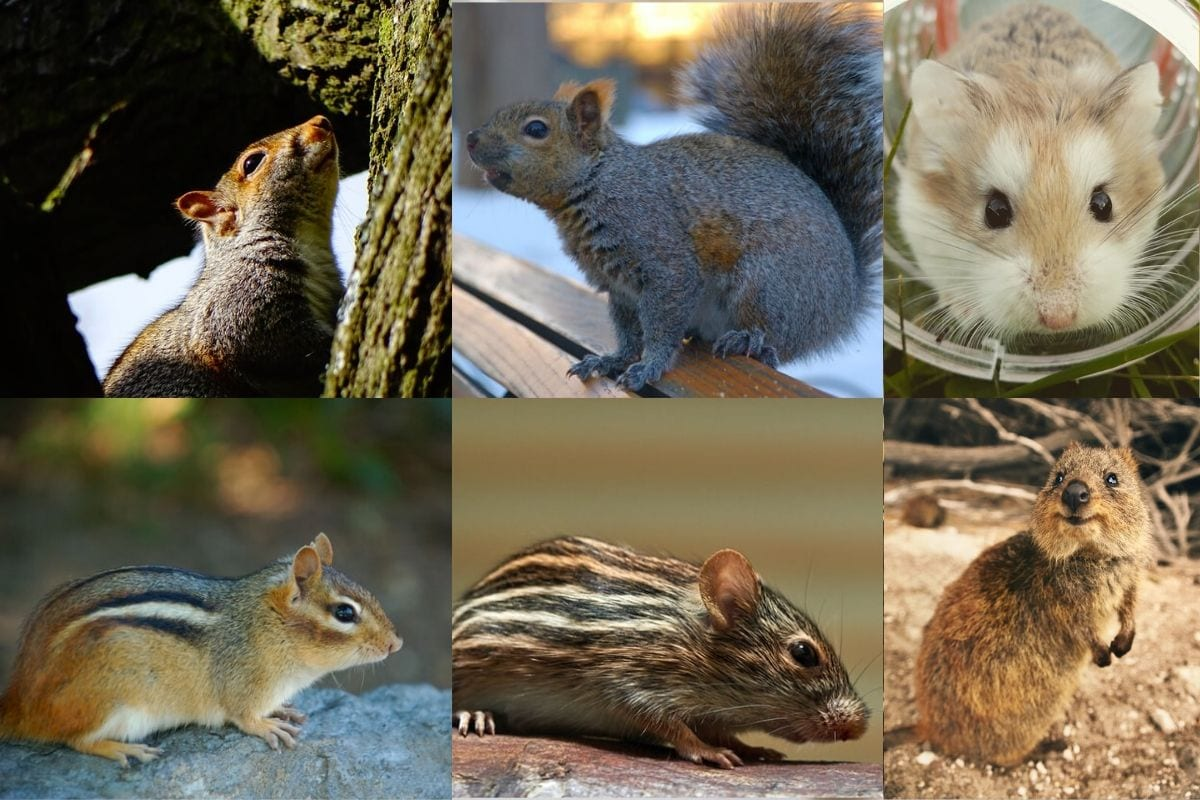 Full list of rodents in Alphabetical Order: Facts about every species